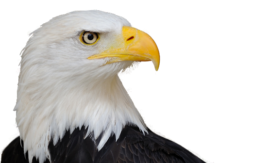 Eagle Head3 Png 552 336 Different Types Of Eagles Types Of Eagles Bald Eagle