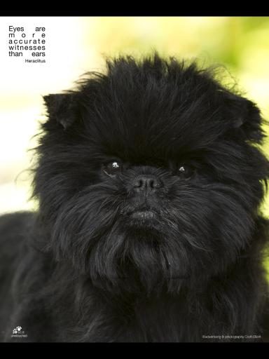 Affenpinscher Affenpinscher Dog Dog Breeds Pretty Dogs