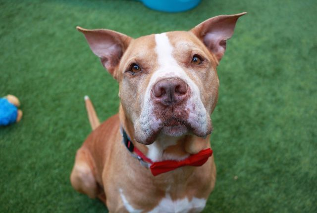 Lucky Lou Aka Lucky A1114548 Manhattan To Be Destroyed 07 01 17 On List Again A Volunteer Writes Lucky Is Dog Adoption Animal Help Service Animal