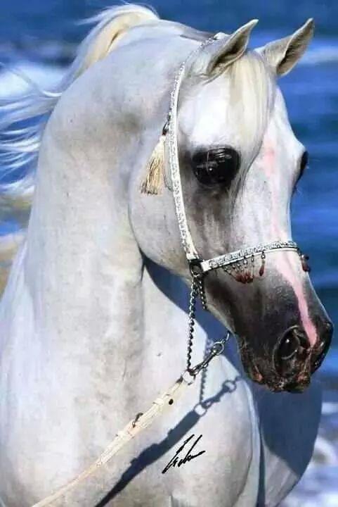 Read Arabians Arabian horse