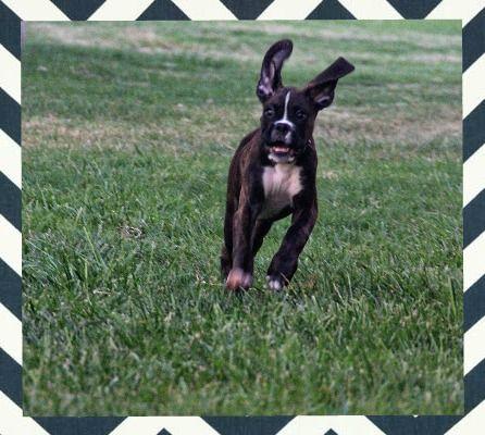 Our Big Eared Bat Dog Tatum Reverse Brindle Boxer
