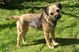 Photo Of Border Terrier After Stripping Border Terrier Terrier