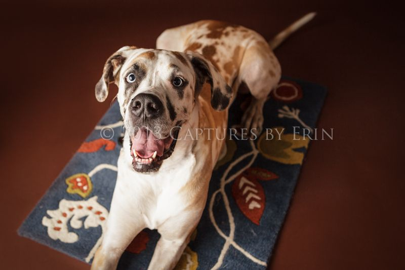 Rusty Is Looking For A Furever Home At Danerescue Net Great Dane