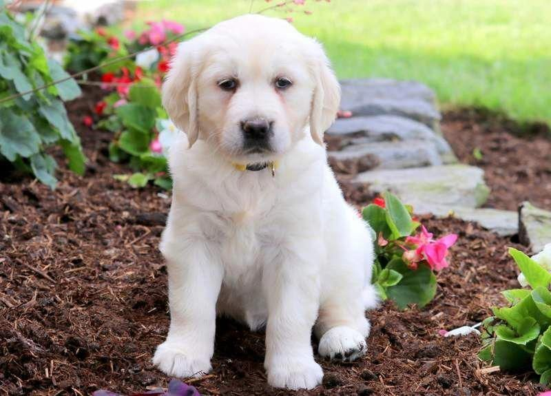 Lucky Keystone Puppies Puppies For Sale Health Guaranteed