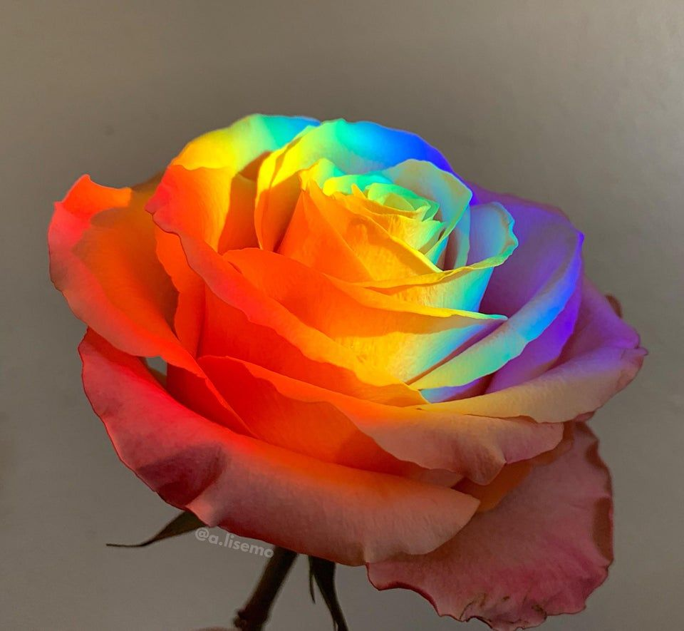 Tried crossposting this recently to no avail. So posting here directly, my prism rose. 🌹🌈