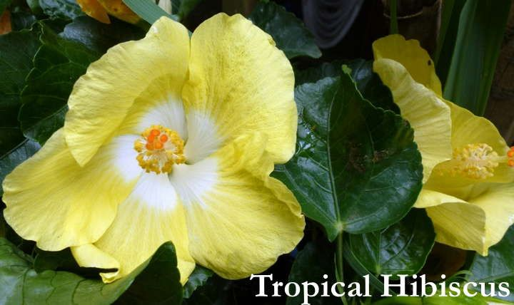 Year Round Hibiscus Growing Tropical Hibiscus Up North Hibiscus Flower Drawing Hardy Hibiscus Hibiscus