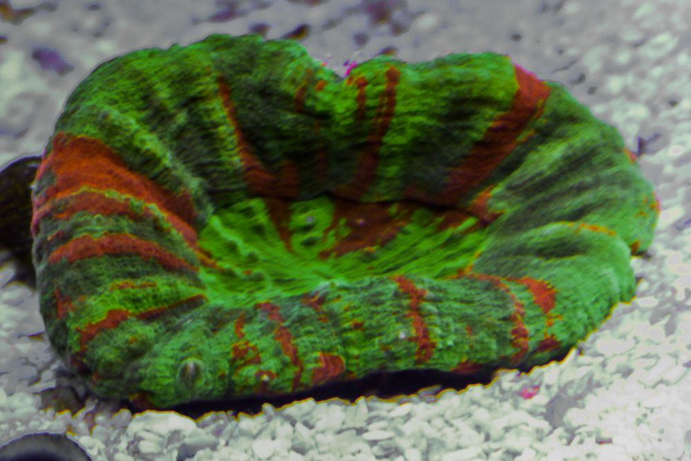 Closeup Of Our Awesome Little Green Ultra Scoly Bleeding Apple 3 225 Live Coral