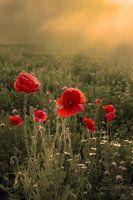 May Romance by ~Callu on deviantART Love, love, love poppies!