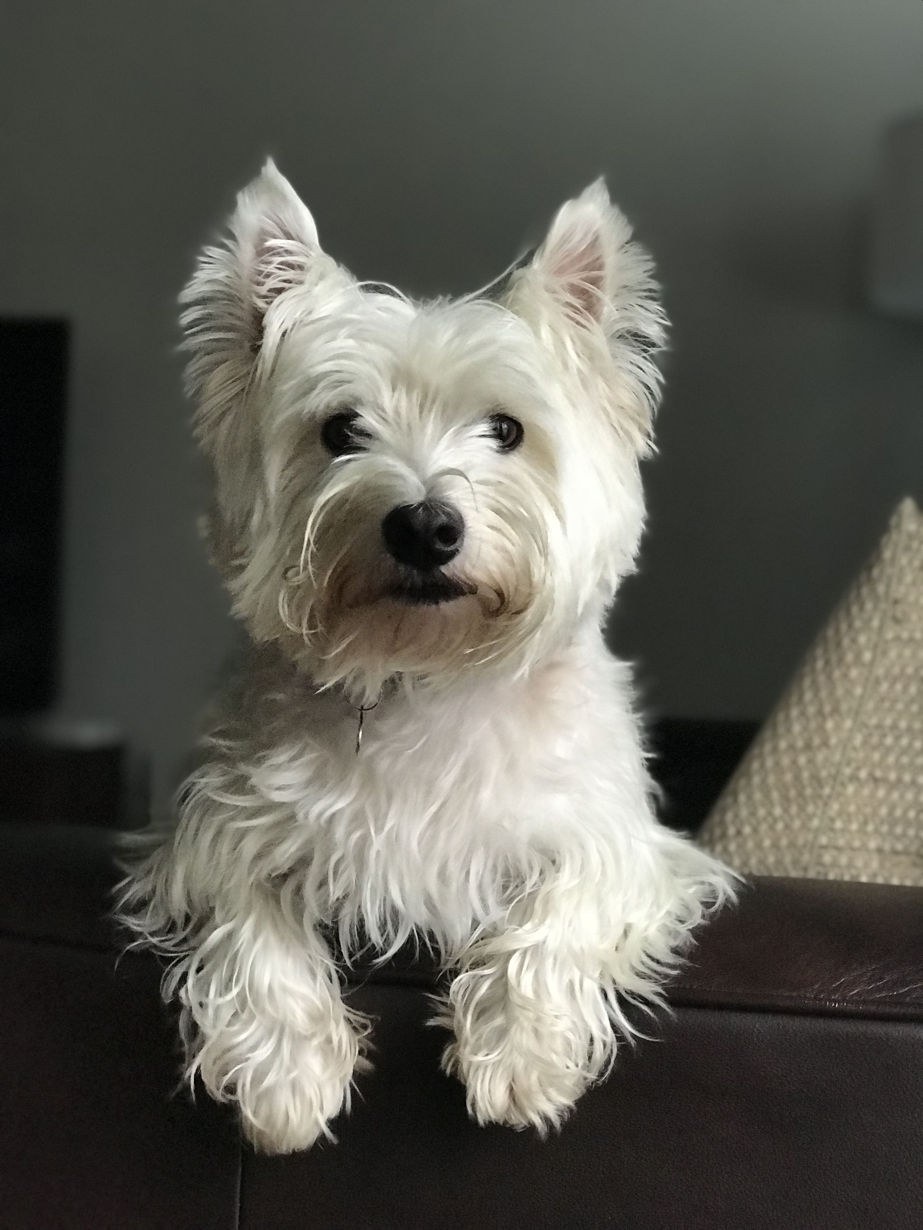 Pin By Thomas Barr On Westie West Highland White Terrier Westies Fluffy Animals