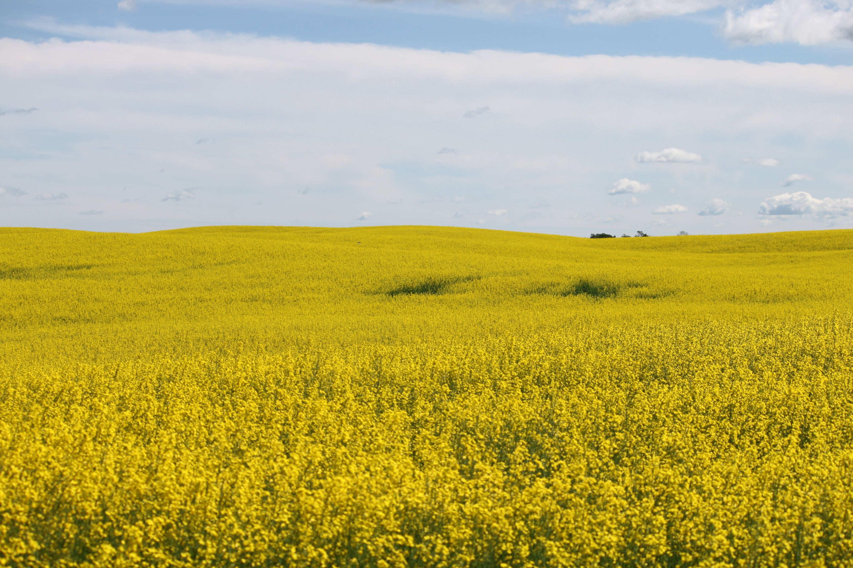 Canola Fields Quotes: Canola Field, Near Edmonton, Alberta.