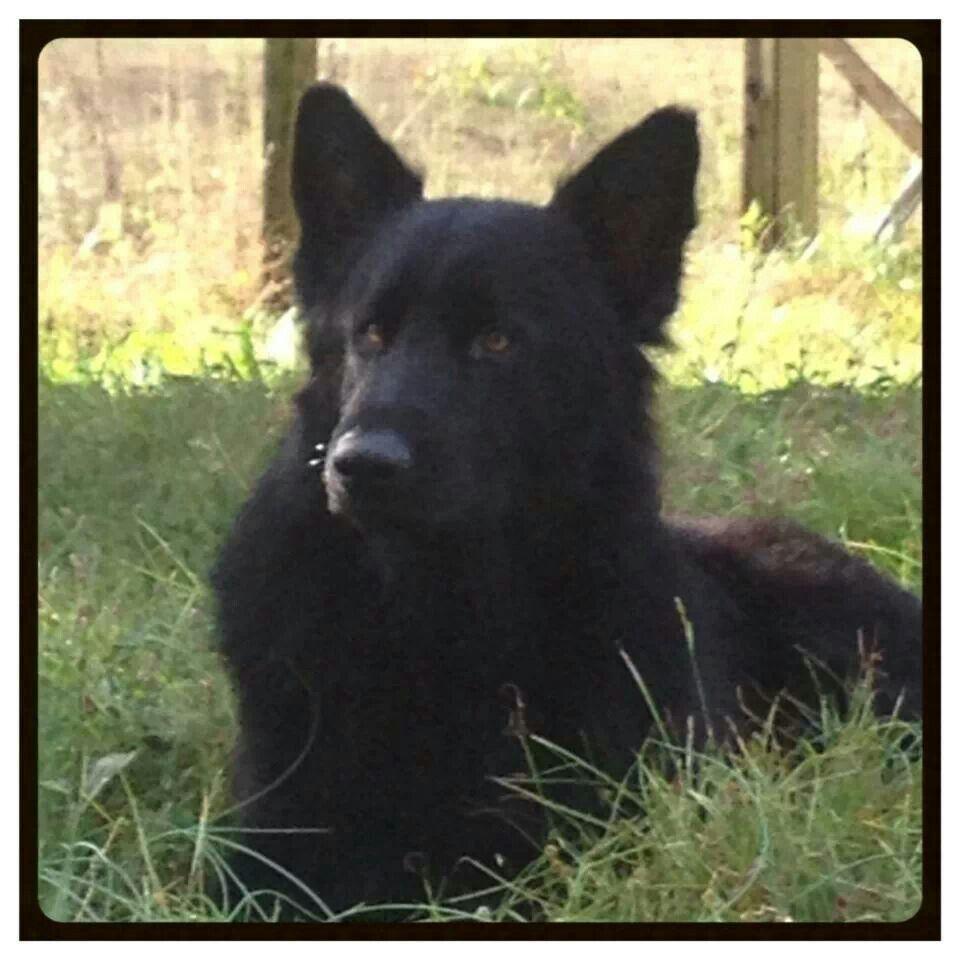 Solid Black Plush Coat Stud Czech German Shepherd Stud Knoxville Tn