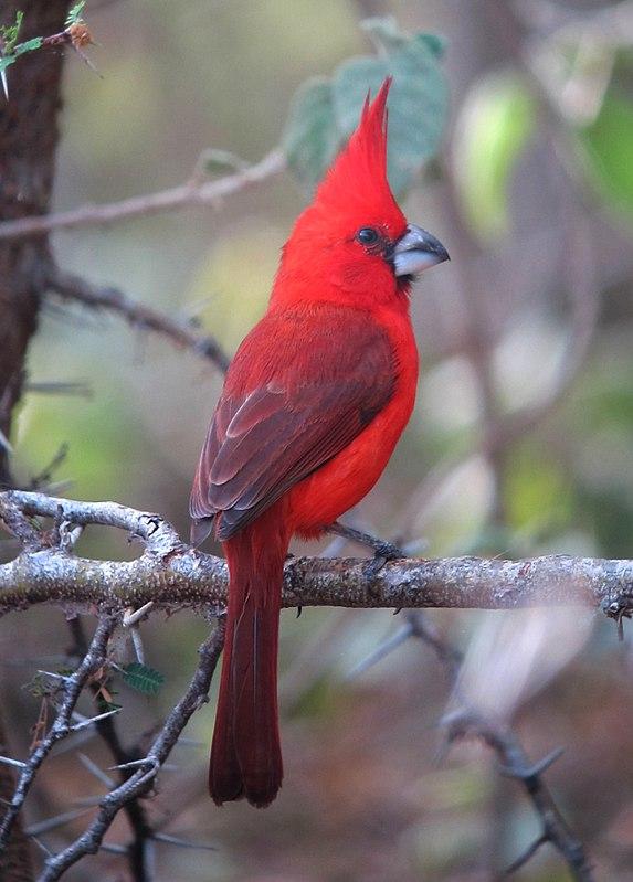 Cardenal Guajiro En 2020 Pajaros Cardenales Aves De Colores Dibujos De Aves