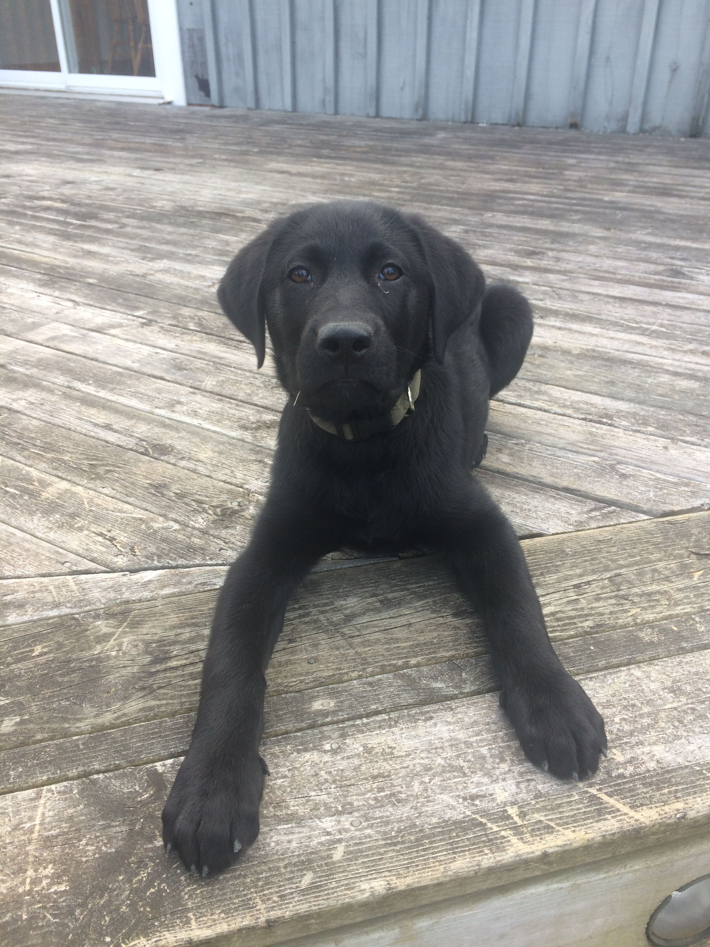 12 Week Old Lab Labrador Puppy Black Labrador Retriever Cute