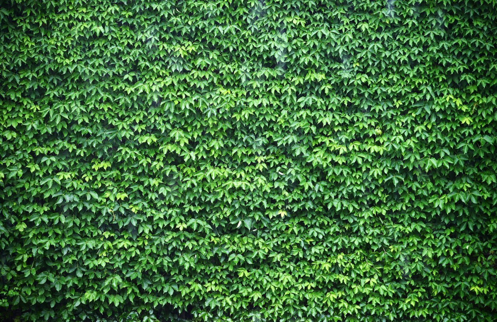 Ivy Wallpaper Green Ivy Wall Design Muralswallpaper