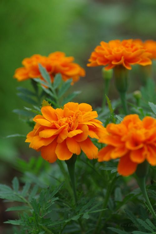 marigold gardening pinterest marigold flowers there are so many different types of flowers from around the world this list offers some of the most popular that have their own spectacular features mightylinksfo
