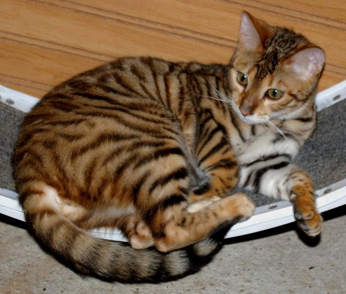 toygers cats Toyger Queens Toyger cat, Bengal cat, Cats