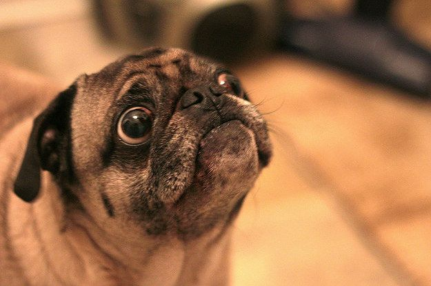 12 People Who Are Maybe Too Obsessed With Their Pets Pugs Funny
