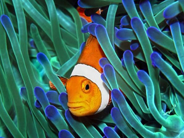 Sea anemone and clown fish salt and fresh water for Buy clown fish