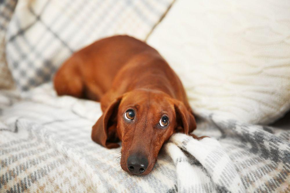 How To Keep A Dachshund Busy Dachshund Dog Funny Dachshund