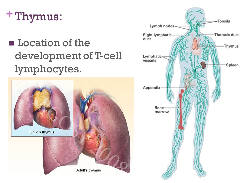 Image result for thymus location | health | Pinterest