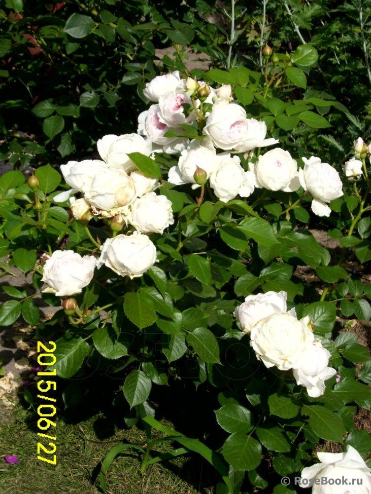 Herzogin Christiana ® | Белые розы, Растения и Розы