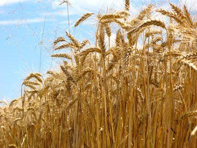 Getreide kaufen - Hafer, Gerste, Weizen - Körner, Futter, gequetscht | Lübbersruh Friedland Mecklenburg