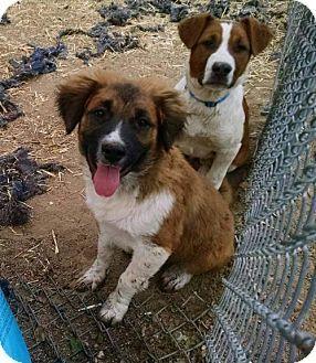 Kitsap County Wa Australian Shepherd Border Collie Mix Meet Sawyer A Puppy For Adoption Http Www Adoptapet Com Australian Shepherd Puppy Adoption Pets