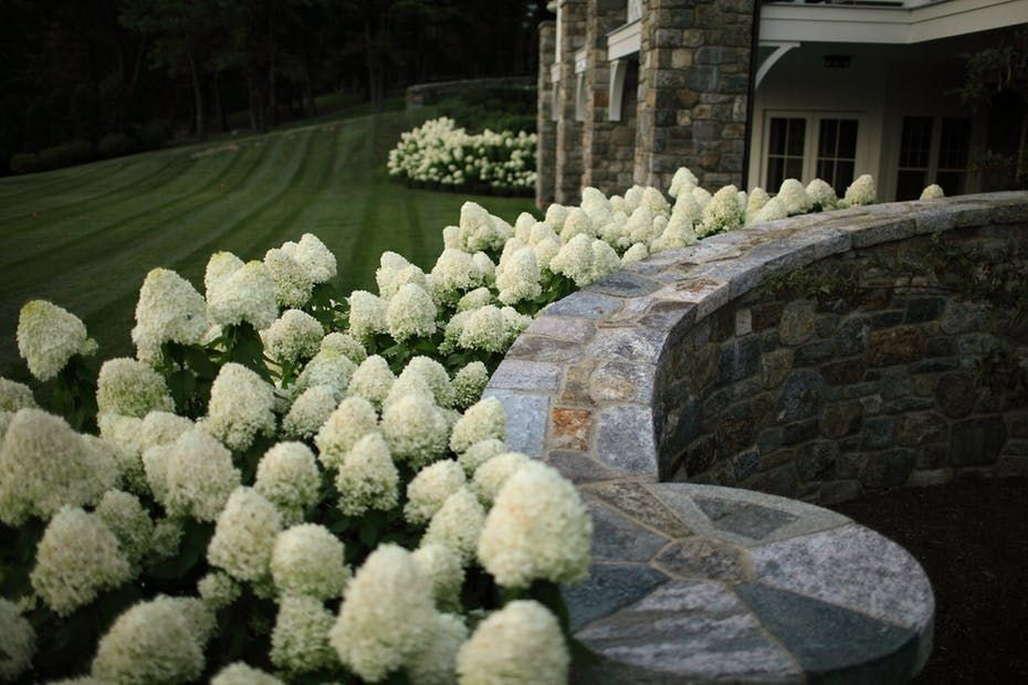 Generous and easy, Limelight Hydrangeas flank the stone