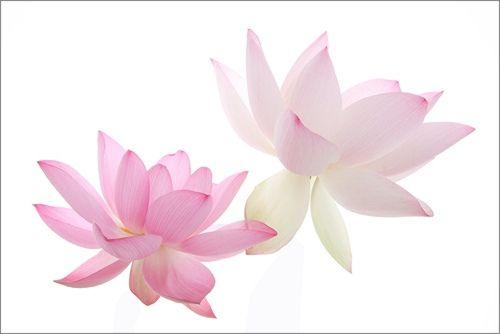 Lotus Flower Img 3493 زهرة اللوتس ハスの花 莲花 گل لوتوس Fleur De Lotus Lotosblume क द 연꽃 Lotus Flower Images Lotus Flower Pictures White Lotus Flower