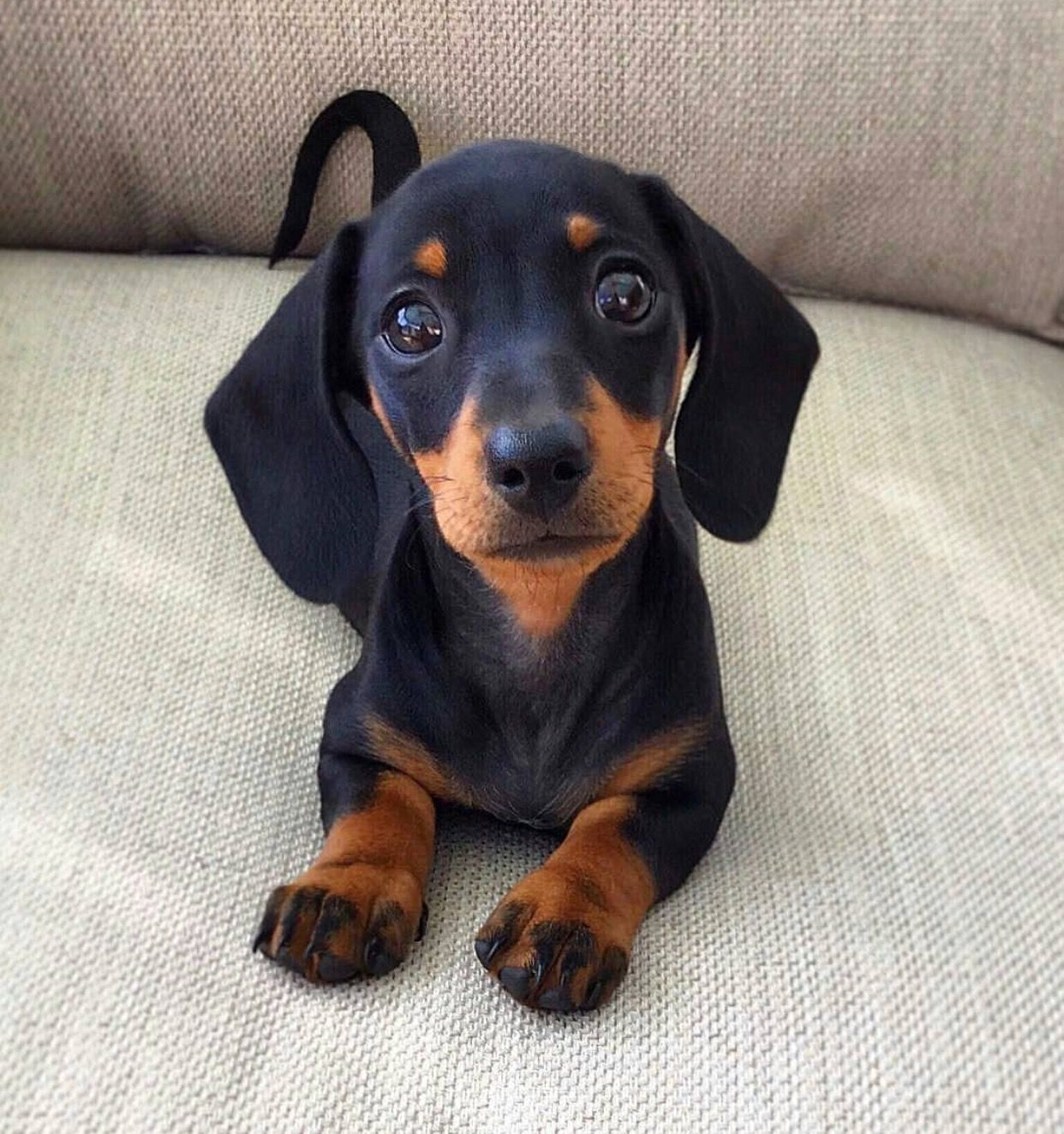 Dachshund Pup Puppies Cute Baby Animals Dachshund Puppies