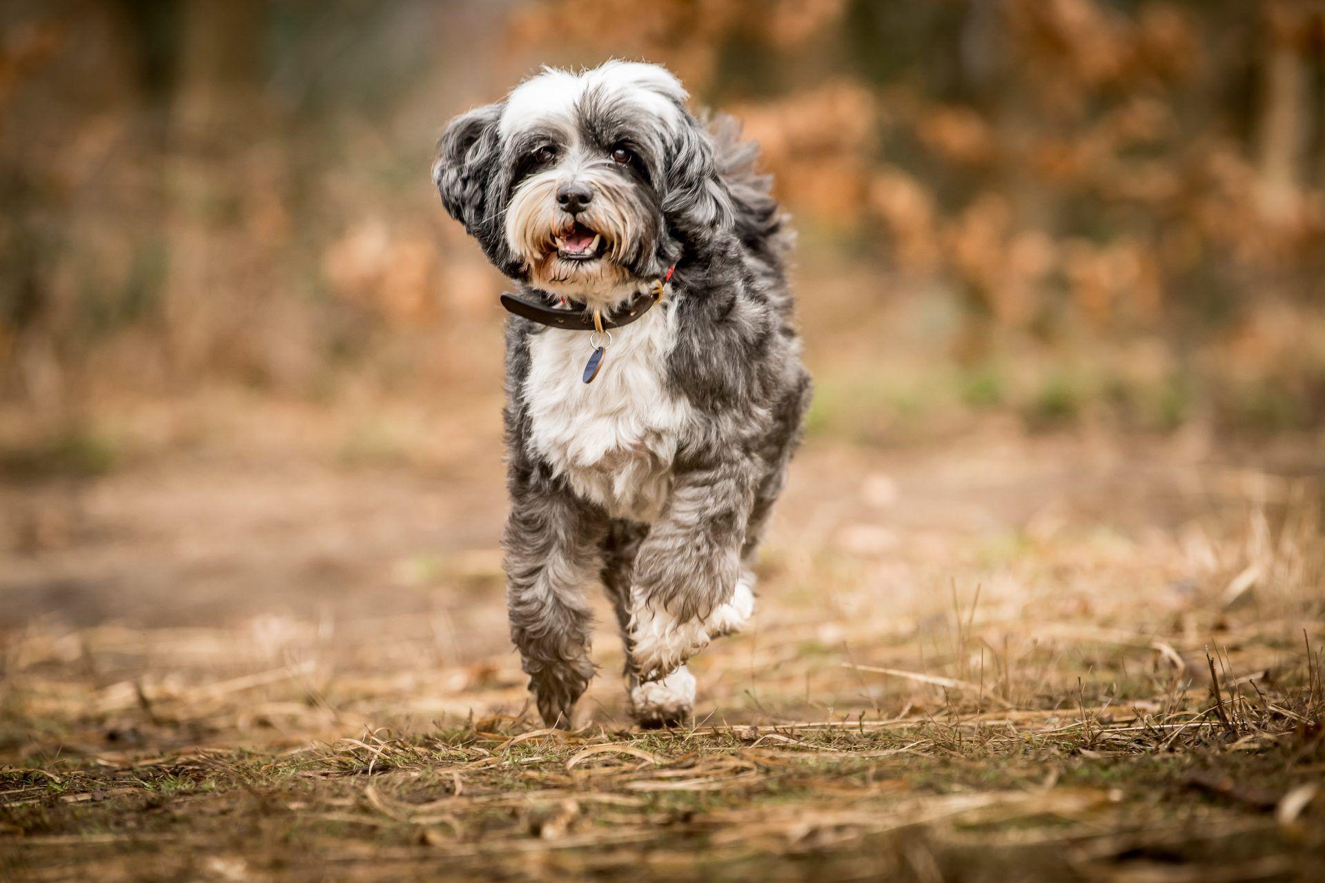 Jonnie Hearn And His Tibetan Terrier Skye Tibetan Terrier The Kennel Club British Dog