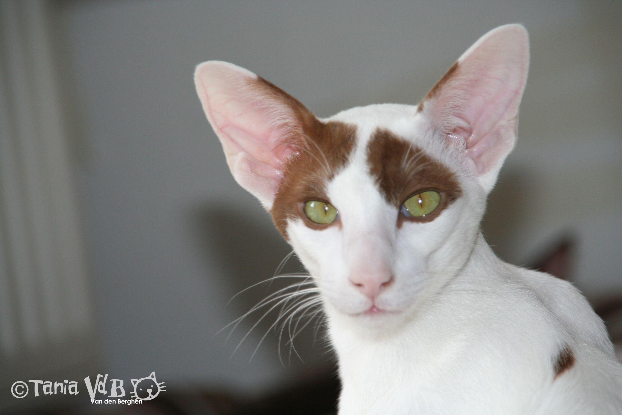 OSH Oriental Shorthair Colour Cinnamon Harlequin