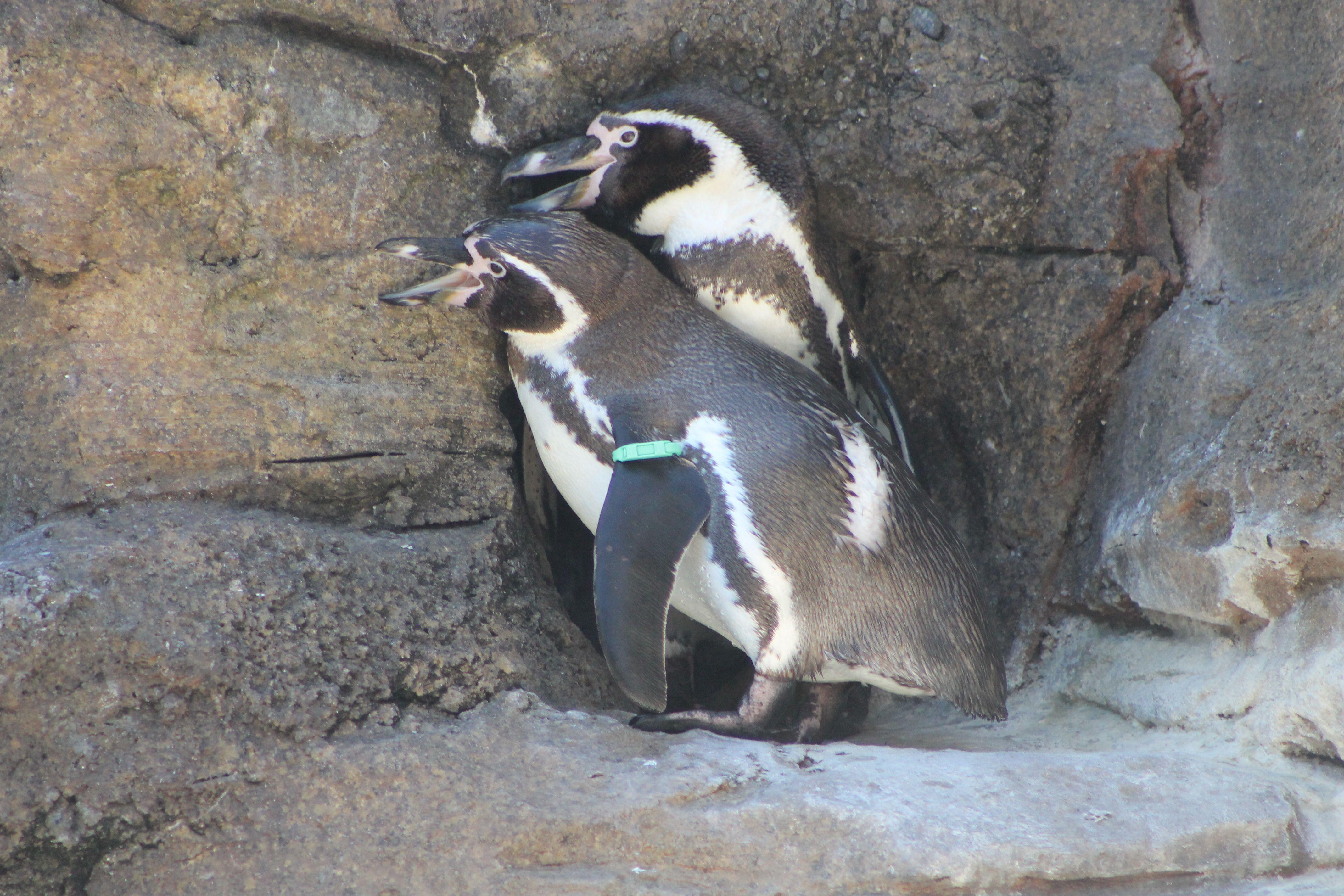 Woodland Park Zoo Penguins Woodland Park Zoo Woodland Park Zoo