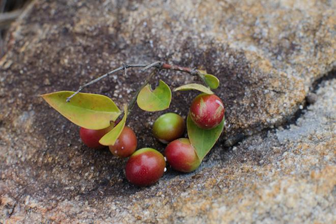 Nhunguru Indegious Zimbabwean Fruit Something I Always Looked Forward To When Went My