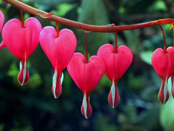 Flor en forma de corazón  Heart flower