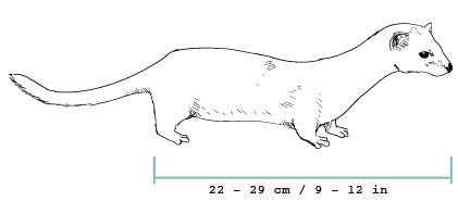 fieldguide-weasel