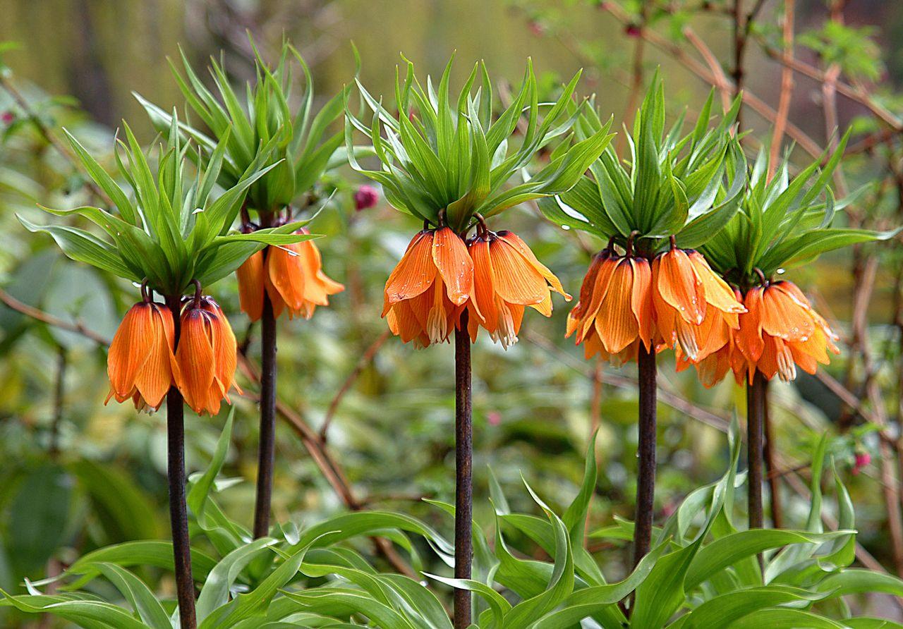 Fritillaria imperialis (Crown imperial). floweroftheday