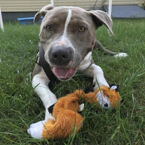 Adopt Blue on Terrier mix dogs, Pitbull terrier, Bull