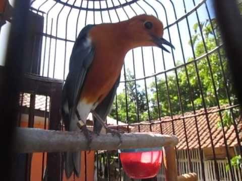 Cara Agar Anis Merah Cepat Teler Aksi Teler Dari Anis Merah Memang Menjadi Magnet Bagi Para Pecinta Burung Yang Memiliki Bulu Coklat Keemasan Dan Hitam Burung