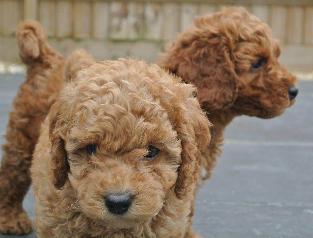 Meet Biscuit Our Dark Red Poodle Stud Dog Red Poodles Stud Dog