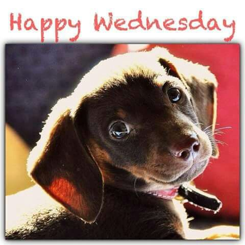 Happy Wednesday | Dachshund Weekdays | Pinterest | Happy ...