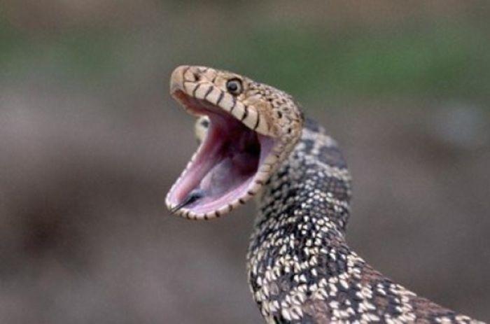 10 Cobras Mais Perigosas Do Mundo Fatos Curiosos Fatos Cobras