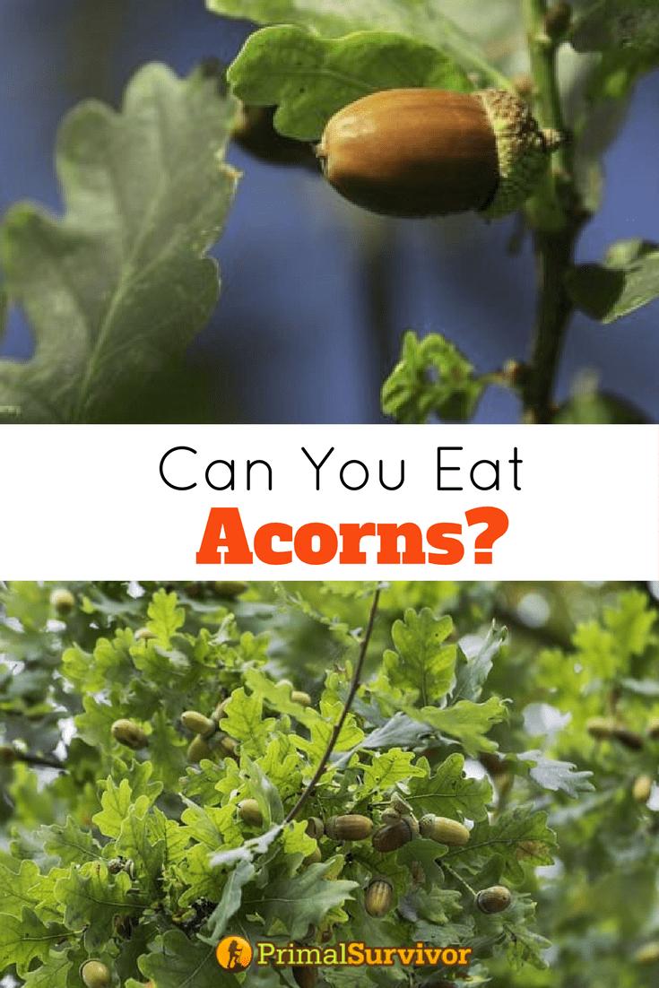 Can You Eat Acorns Beth S Otg Stuff