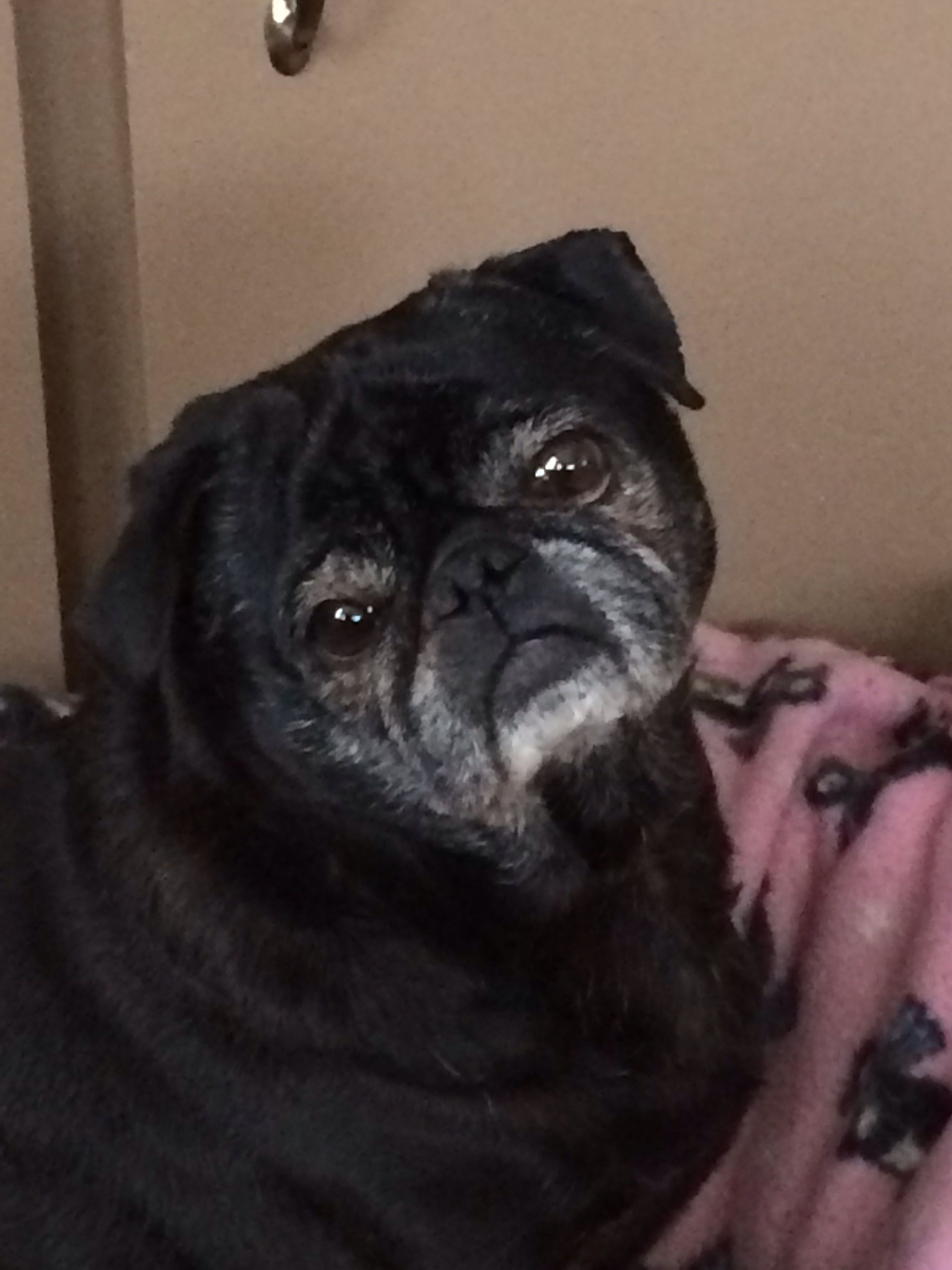 Lucy Girl Pug Love Pets Best Dog Breeds