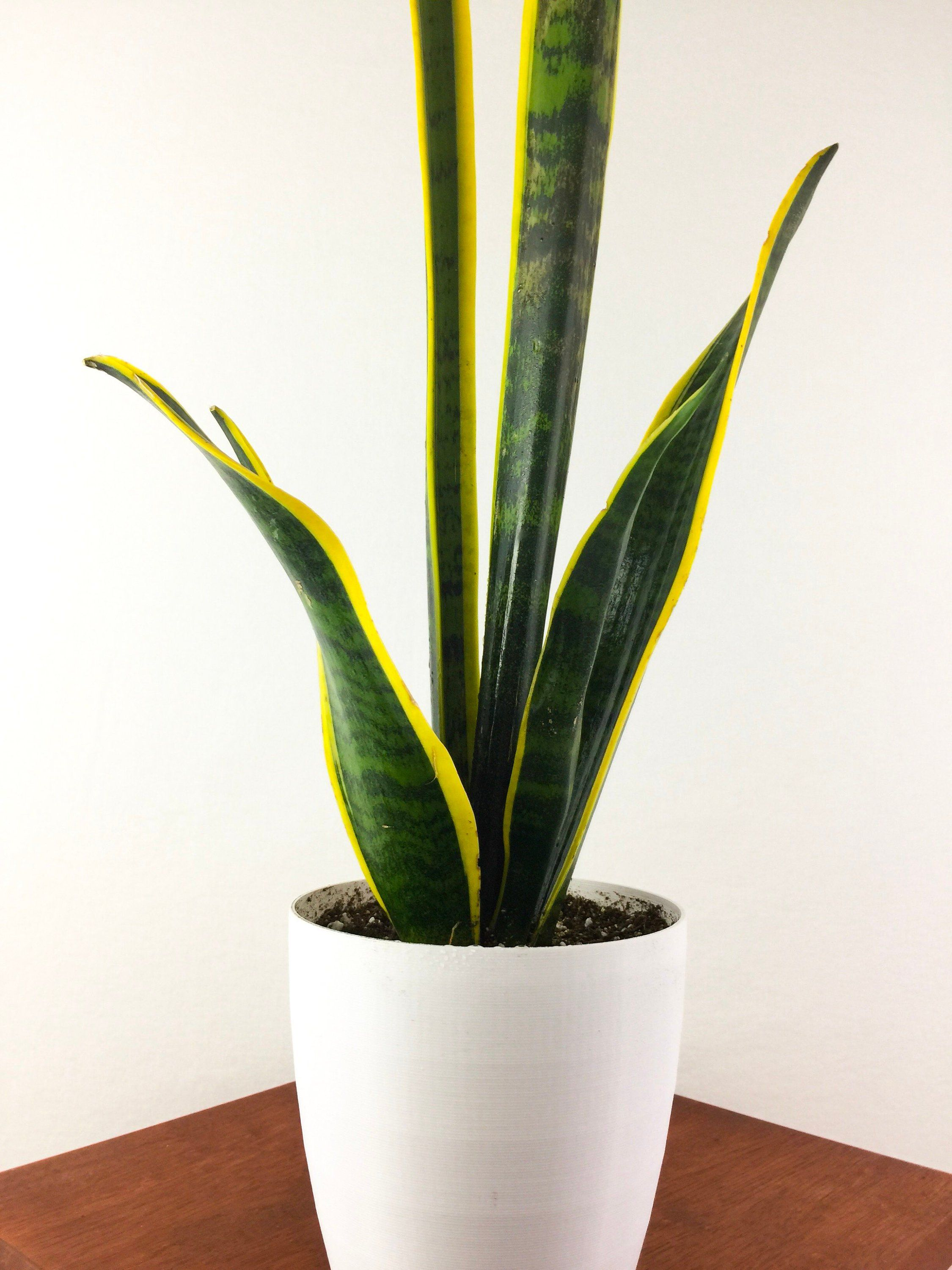 Extra Large Snake Plant Mother In Law S Tongue 26 30 Tall Sansevieria Trifasciata Air Purifying H Mother In Law Tongue Snake Plant Easy Care Indoor Plants