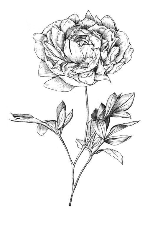 Fleur Illustration peony flower illustration print, giclee print, wall art, ink print