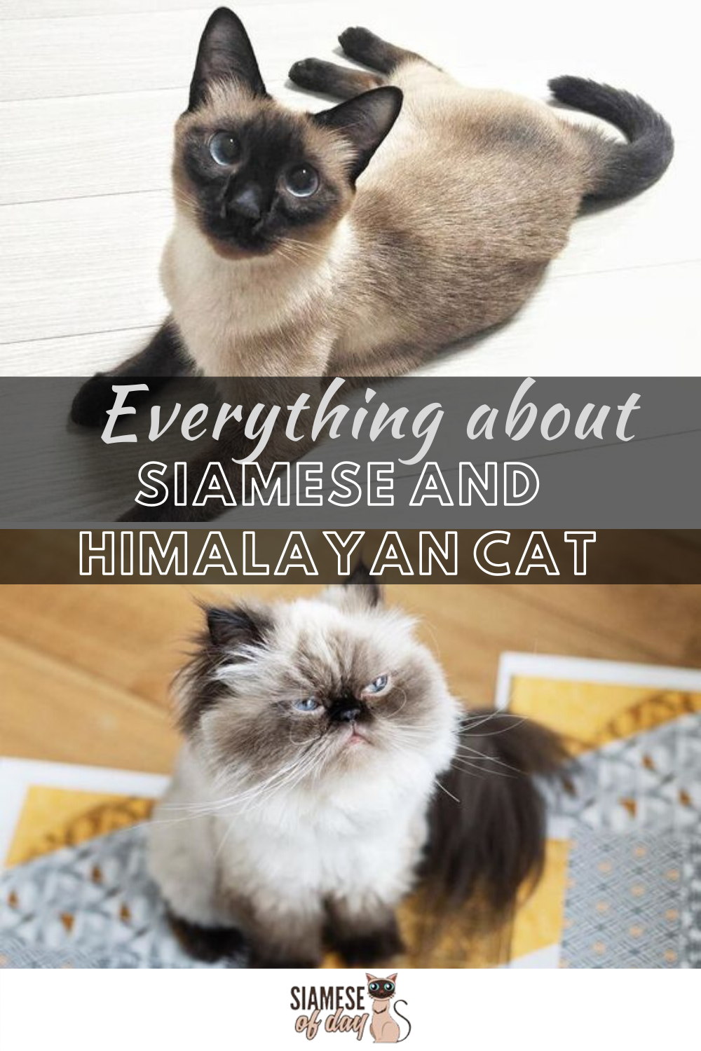 Difference Between Siamese And Himalayan Cats Siameseofday In 2020 Himalayan Cat Cats Siamese Cats