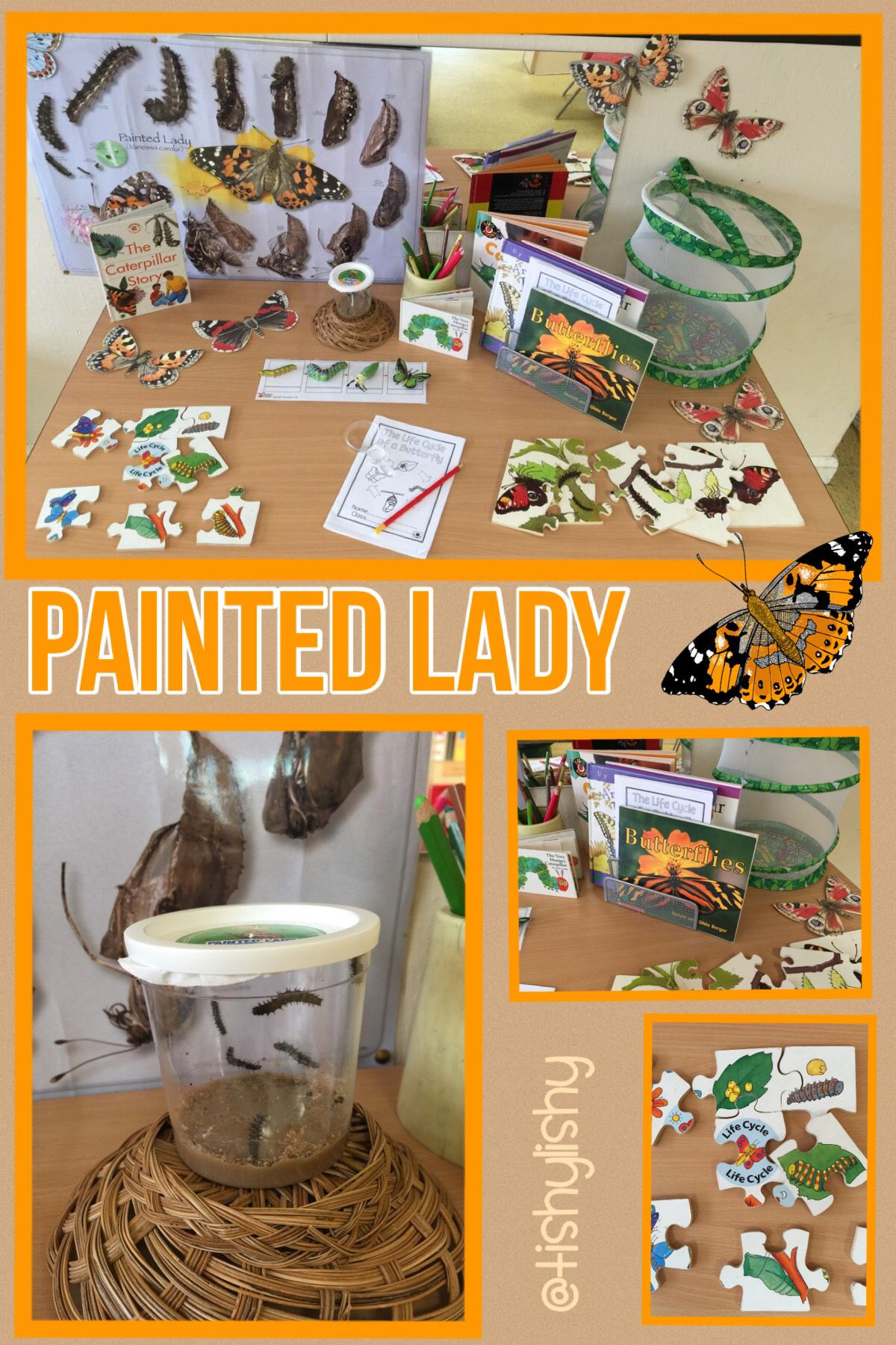 Painted Lady Caterpillar Butterfly Display