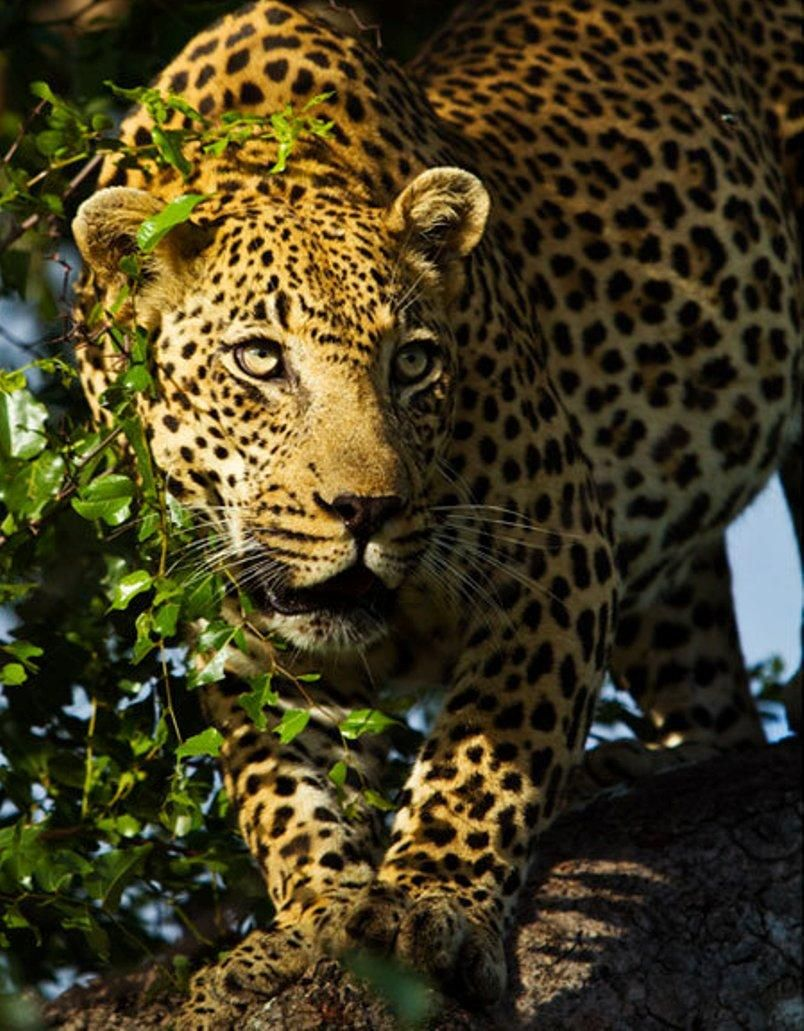 Leopard on top of the tree in Serengeti National Park, Tanzania