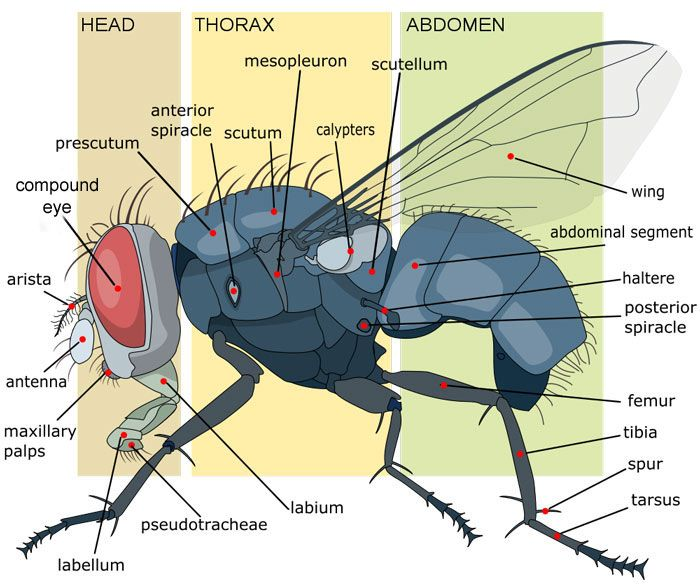 Anatomy of a Housefly | Old Black Fly | Pinterest